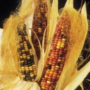 "Кукуруза  сорт  ""БИГ""   (Siermais grote soorten)   25 семян"