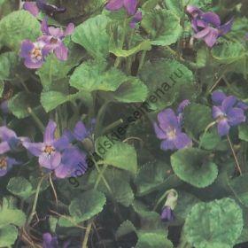 """Виола сорт """"СЛАДКИЙ ФИОЛЕТ"""" (Maarts viooltje)   0.40 гр. семян"""