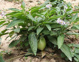 ДЫННАЯ ГРУША  (Solanum muricatum)  15 семян