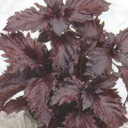 """Базилик  сорт """"ФИОЛЕТОВЫЕ ОБОРКИ"""" (Purple Ruffles)   0.3 гр.  210 семян"""