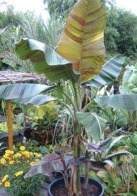 "Банан  сорт ""ДАРДЖИЛИНГ"" (Musa sikkimensis)   10 семян"