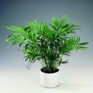 """Пальма  сорт """"ЭЛЕГАНС""""  (Chamaedorea elegans)   10 семян"""