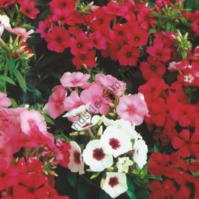 "Флокс сорт  ""БЬЮТИ МИКС""  (Vlambloem Beauty mix)   300 семян"