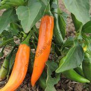 "Перец  ""БОЛГАРСКАЯ МОРКОВЬ"" (Bulgarian Carrot) 25 семян"