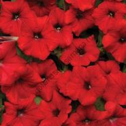 """Петуния сорт """"КРАСНАЯ ВОЛНА Ф1""""(Easy Wave Red F1) 15 семян"""