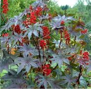 "Клещевина сорт ""ЗАНЗИБАР""(Zanzibarensis) 10 семян"