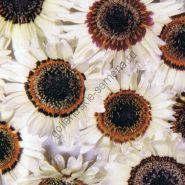 """Арктотис сорт""""АФРИКАНСКИЕ НОГОТКИ""""(Afrikaanse goudsbloem - Arctotis)300 семян"""