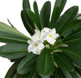 """Пахиподиум """"ЛАМЕРА"""" (Pachypodium lameri) 10 семян"""