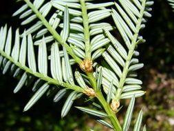 Секвойя  (Sequoia sempervirens) 10 семян