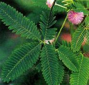 Мимоза (Mimosa pudica)