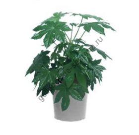 """Фатсия  """"ЯПОНСКАЯ"""" (Fatsia japonica)   25 семян"""