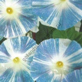 "Ипомея сорт ""ЛЕТАЮЩАЯ ТАРЕЛКА"" (Flying Saucer)   1.5 гр.   50 семян"