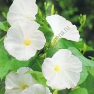 """Ипомея сорт """"ЖЕМЧУЖНЫЕ ВОРОТА"""" (Pearly Gates)   25 семян"""