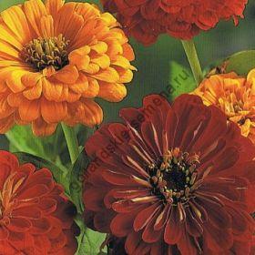 """Цинния сорт """"КАЛИФОРНИЙСКОЕ СОЛНЦЕ"""" (California Sun) 100 семян"""
