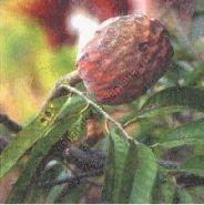 """Аннона  сорт """"РЕТИКУЛАТА"""" (Annona reticulata)   10 семян"""