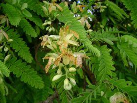Тамаринд   (Tamarindus indica)   10 семян