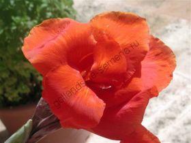 Канна индийская   (Canna indica)   10 семян