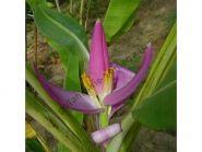 """Банан  сорт """"ВИОЛЕНСИ"""" (Musa ornata Violacea)   10 семян"""