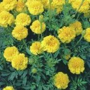 """Бархатцы  сорт """"ЖЁЛТЫЙ МАЛЫШ"""" (Petite Yellow)  150 семян"""