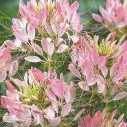 "Клеома сорт ""РОЗОВАЯ КРАСОТКА""(Rose Beauty) 180 семян"